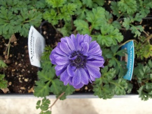 A blooming anemone!